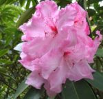 Mount Arrowsmith Rhododendron Society
